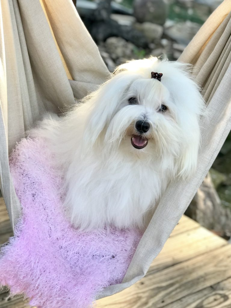 Yeti the Coton de Tulear