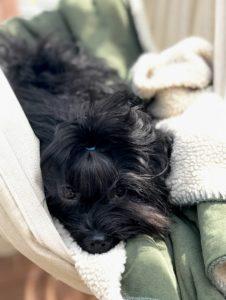 Russian Bolonka puppy