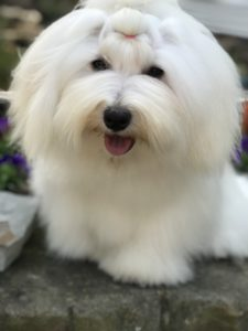 Yeti the Coton eats nutrition healthy pet foods