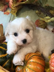 Snow White Coton Puppy